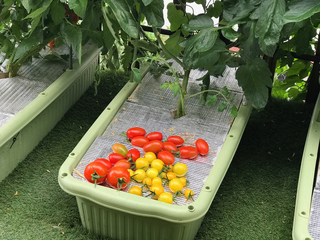 収穫したトマト.jpg