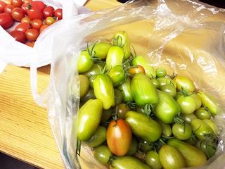 収穫した青いトマト.jpg