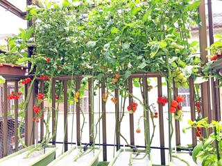 収穫期中期を迎えるトマト.JPG