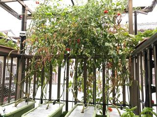 夏のトマト.jpg
