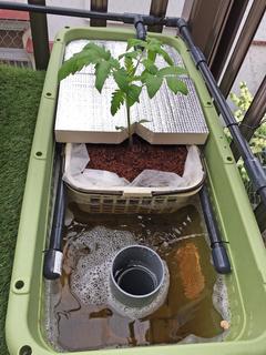 定植したトマト1.jpg
