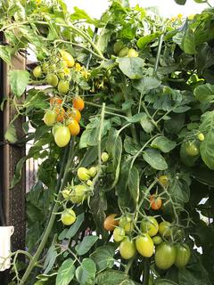 湯世のトマト.jpg