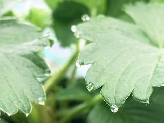 いちごの葉の水滴(葉水)2.jpeg