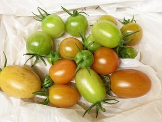 やっと赤くなり始めた秋トマト 収穫.jpeg