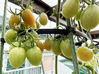 冬のトマトの実り2.jpeg