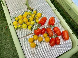 収穫したトマト.jpeg