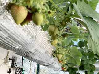 水耕栽培いちごの実.jpeg