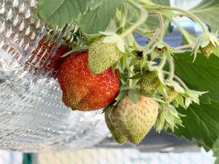 水耕栽培いちごの実2.jpeg