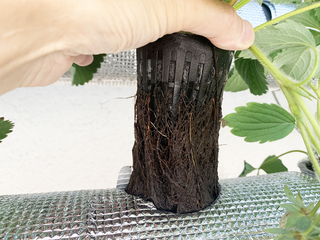 水耕栽培いちごの根が黒ずむ.jpeg