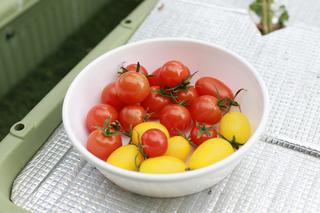 秋トマト本日の収穫.JPG