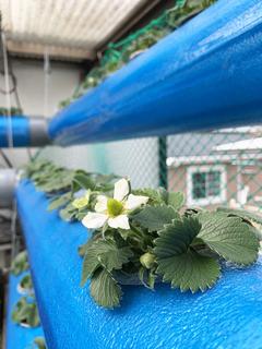 花が咲きはじめた水耕栽培中のいちご.jpeg